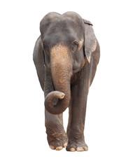 full body of asia elephant isolated white background