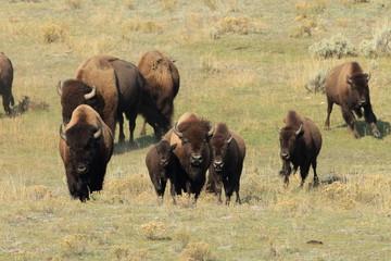 Printed kitchen splashbacks Bison American Bison, Buffalo, Yellowstone National Park