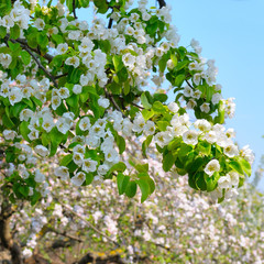 Flowering branch of pear blooming spring garden. Flowers pears close-up. Blurred background.