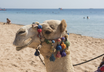 Head of dromedary camel with ornate bridle on beach