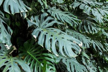 green Monstera plants in garden