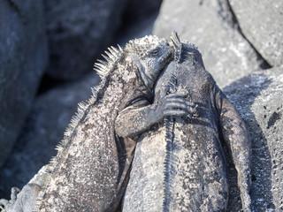 group Leguán Amblyrhynchus cristatus hassi, Santa Cruz, Galapagos, Ecuador