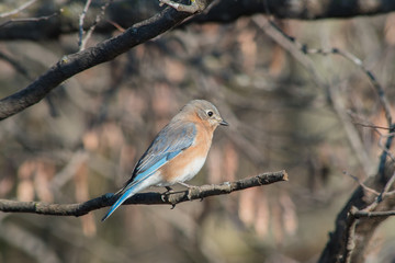 A blurred background helps make this beautiful blue bird stand out nicely on a tree limb in Missouri