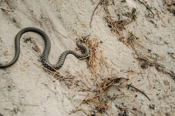 Wild Fauna. Herpetology. A snake on the sand. Water too.