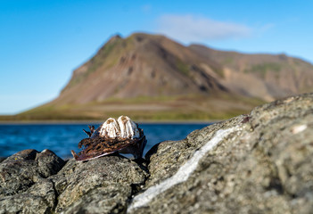 Old mussel with barnacles on a rock