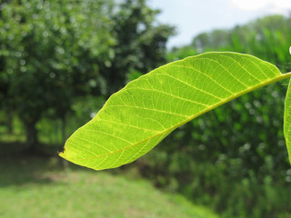 Closeup of walnut leaf lit by sunlight