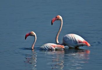 Flamingos on the lake, pink bautiful animal