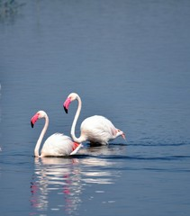 Flamingos on the lake, pink bautiful animal