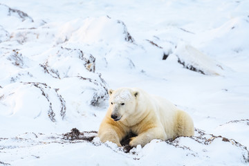 Adult polar bear laying on a pile of snow and kelp, digging up kelp, in a frozen snow covered landscape, Hudson Bay, Manitoba, Canada