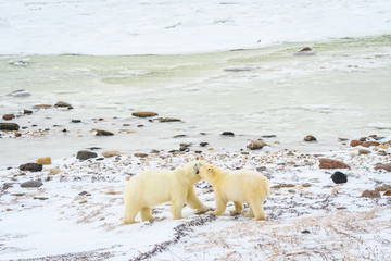 Mother and cub polar bears rubbing heads in the frozen landscape on the edge of Hudson Bay, Manitoba, Canada