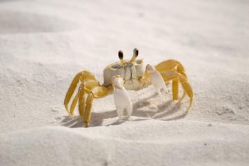 Sand Crab 02