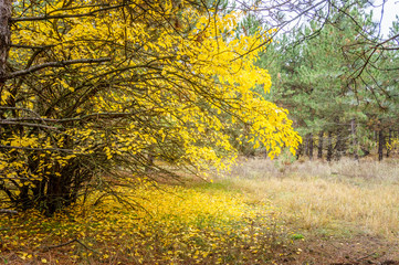yellowed foliage on a tree and yellow fallen leaves under a tree in an autumn park