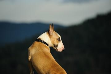 Bull Terrier dog outdoor portrait sitting looking behind