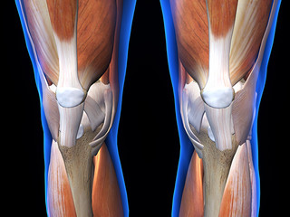Knee Bone, Cartilage and Muscle Anterior View