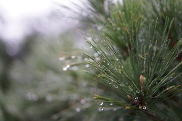 雨の日の松