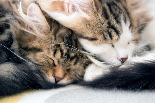 Cute Siberian Forest Cat kittens sleeping curled together. Concepts of  love, friendship, snuggle, sleep, rest and relax