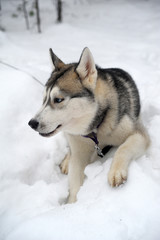 Purebreed Huskey in a field of snow