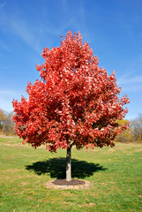 Vibrant red maple tree in autumn.