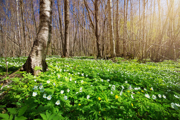 Wall Mural - Wood with lots of white spring flowers in sunny day