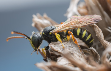 Macro photo of an adult weevil wasp, Cerceris resting on dry plant