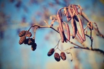Alder with catkins. Beautiful natural colorful background with tree and branches.  (corylus avellana)