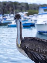 Brown Pelican, Pelecanus occidentalis urinator, in the sprig, Santa Cruz, Galapagos, Ecuador.
