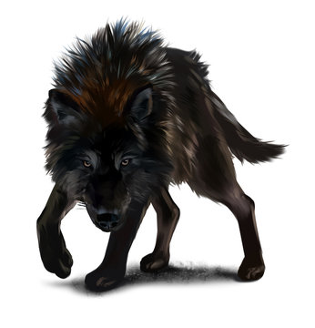 Aggressive black wolf watercolor painting