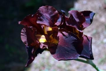 Purple flower, beautiful, out of my garden