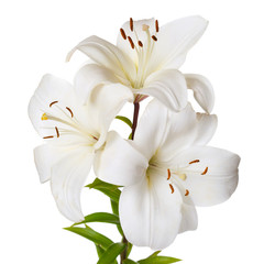 Photo sur cadre textile Fleur de lis A bouquet of light lilies isolated on white background.