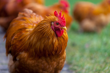a german cock portrait on green background