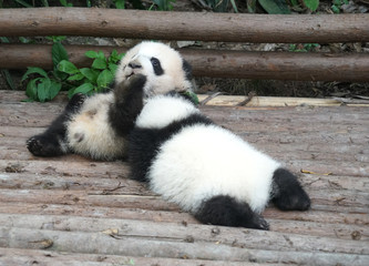 Baby panda playing and sleeping outside