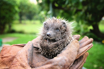 Baby hedgehog found in the garden, holded by hands in gloves