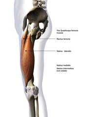 Male Quadriceps Muscles Lateral View Labeled