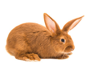 red rabbit isolated