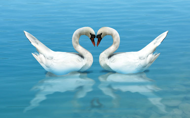 Swan Pair Forms a Heart