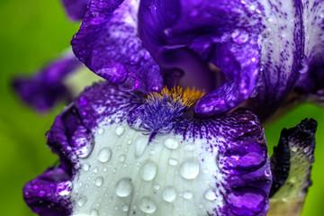 Deurstickers Iris The flower of a decorative iris growing in a summer garden.