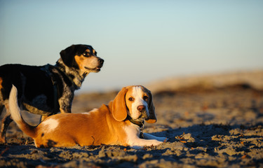 Two Beagle dogs outdoor portrait on beach