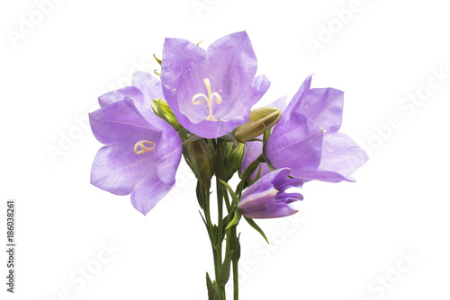 Blue bell flowers isolated on white background flowerbeds garden blue bell flowers isolated on white background flowerbeds garden fashionable creative floral composition mightylinksfo