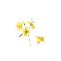 Celandine spring flowers Chelidonium majus. Hand drawn watercolor painting on white