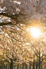 Sunshining through the Cherry Blossom tree