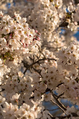 Cherry blossoms early on a sprintime morning