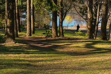 Park setting with a man jogging by the river along huge pine tees and green grass.