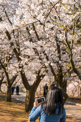 Taking pictures of the Springtime Cherry Blossoms in bloom
