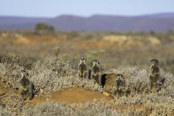 Meerkats, Oudtshoorn, Western Cape, South Africa, Africa