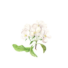Watercolor illustration of apples flowers on white