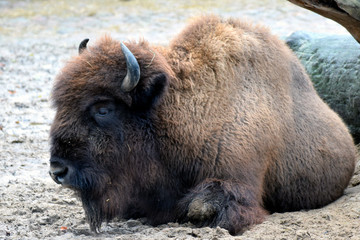 Canvas Prints Bison American bison (Bison bison), also commonly known as the American buffalo or simply buffalo.