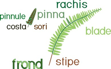 Parts of fern frond with titles