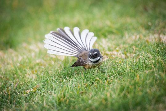 fantail piwakawaka bird new zealand
