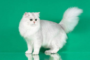 Studio portrait of White British long hair cat with green eyes