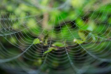 Cobweb in dew drops.